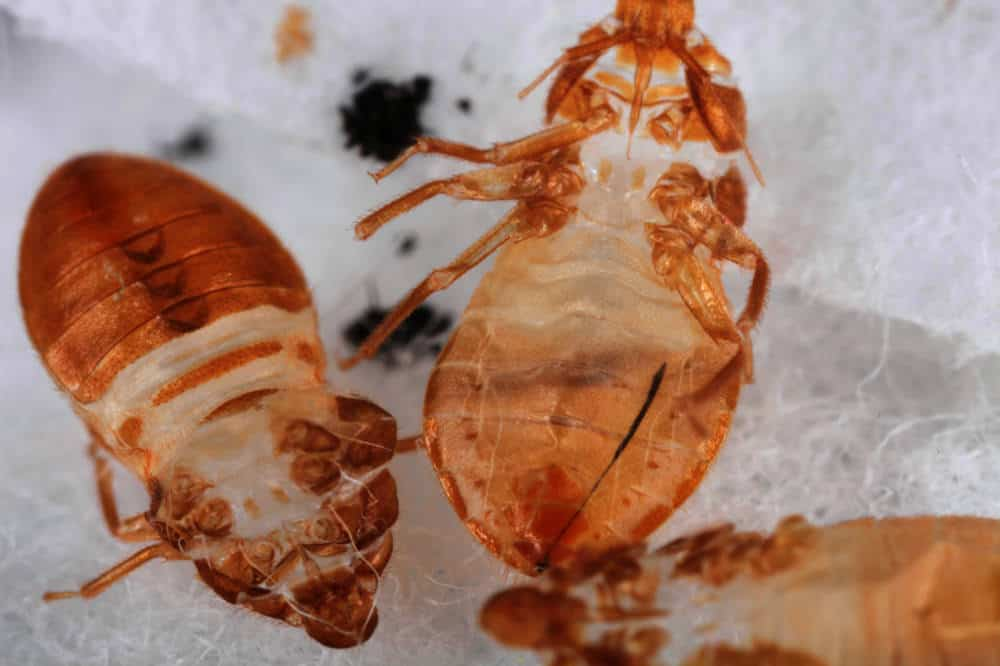 Where Do Bed Bugs Like to Hide?